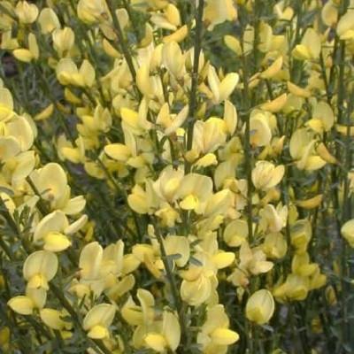 Cytisus praecox 'Allgold' - Salgshøjde: 20-30 cm. (NP-GC)