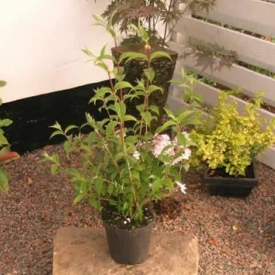 Deutzia hybrid 'Mont Rose' - Salgshøjde: 40-60 cm. (NP-GC)