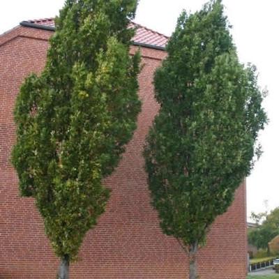 Quercus robur 'Fastigiata' (Pyramideeg) 400 - 500 cm.