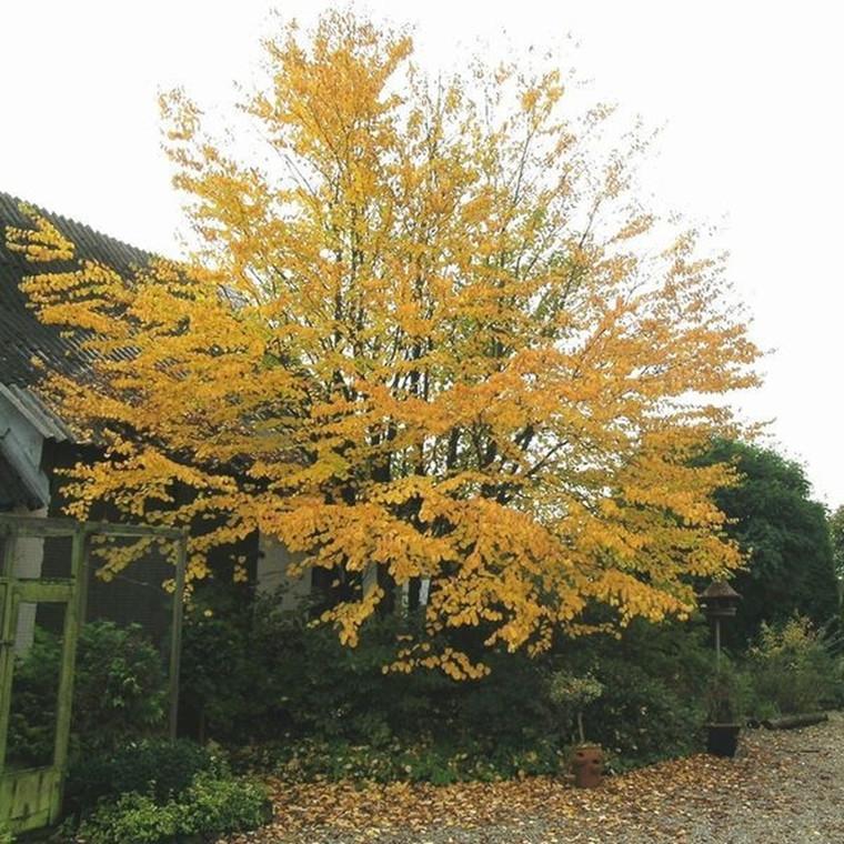 Cercidiphyllum japonicum - Salgsstr.:  6-8 - Hjertetræ