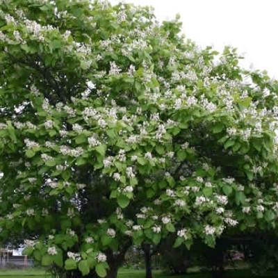 Catalpa bignonioides - Salgsstr.:  180-250 cm. - Trompetkrone