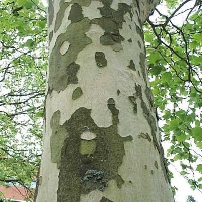Platanus acerifolia - Salgsstr.: 10-12 cm. (stammeomkreds i en meters højde) 1,8-3 m. højt - Platan