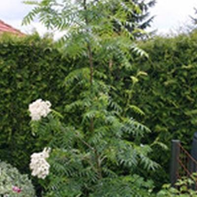 Sorbus 'Dodong' - Salgsstr.: 200-250 cm. - Koreansk Røn
