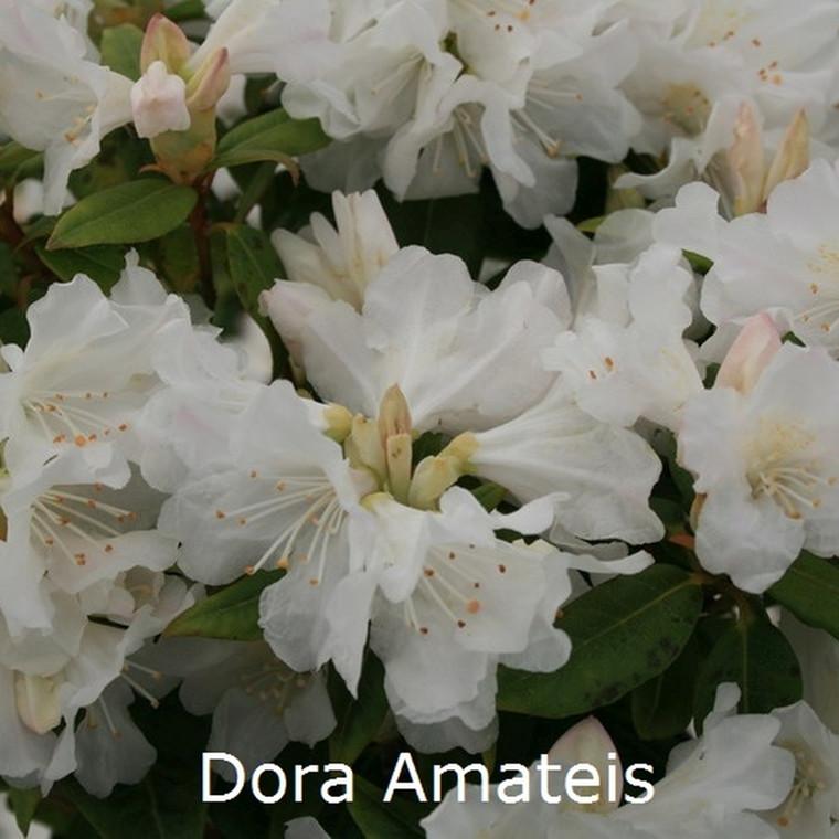 Rhododendron minus 'Dora Amateis' (Småblomstrende) - Salgshøjde: 20-25 cm