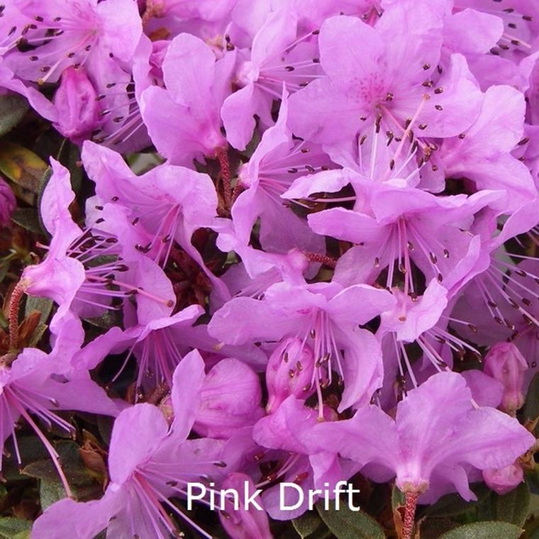 Rhododendron calostrotum 'Pink Drift' (Småblomstrende) - Salgshøjde: 12-15 cm.