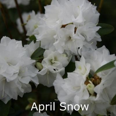 Rhododendron dauricum 'April Snow' (Småblomstrende) - Salgshøjde: 30-40 cm.