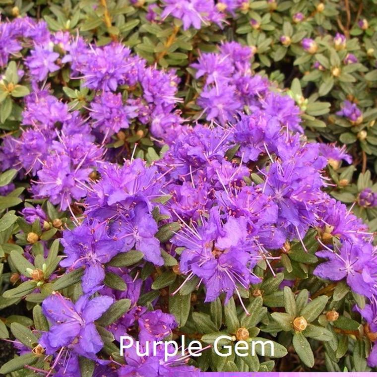 Rhododendron impeditum 'Purple Gem' (Småblomstrende) - Salgshøjde: 25-30 cm.