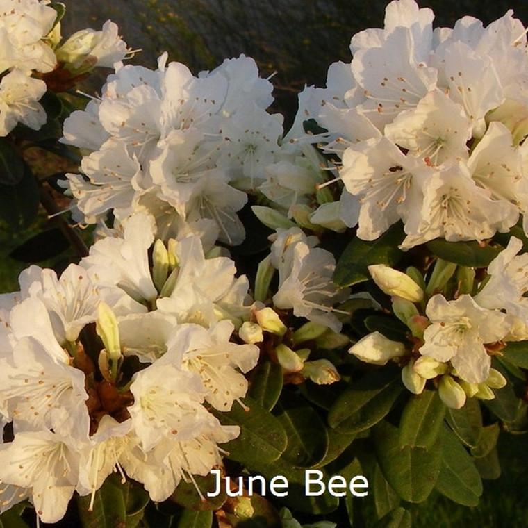 Rhododendron keiskei 'June Bee' (Småblomstrende) - Salgshøjde: 20-30 cm.
