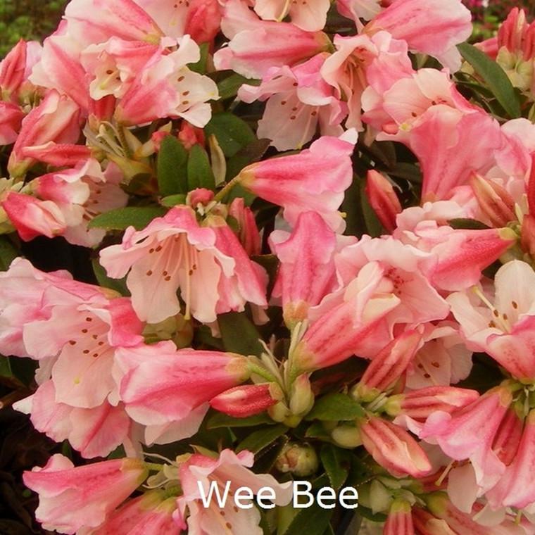 Rhododendron keiskei 'Wee Bee' (Småblomstrende) - Salgshøjde: 20-30 cm.