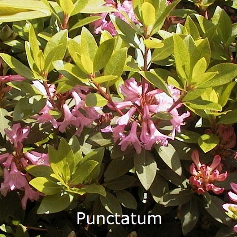 Rhododendron minus 'Puncta' (Punctatum) (Småblomstrende) Salgshøjde: 20-30 cm.