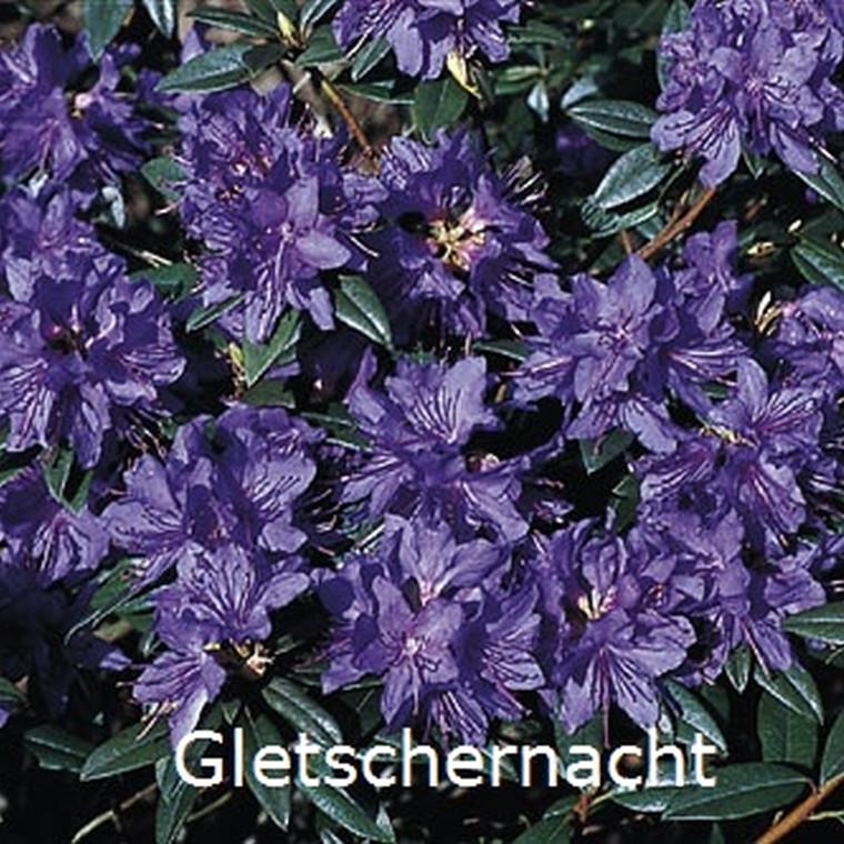 Rhododendron russatum 'Gletschernacht' (Småblomstrende) - Salgshøjde: 20-25 cm.