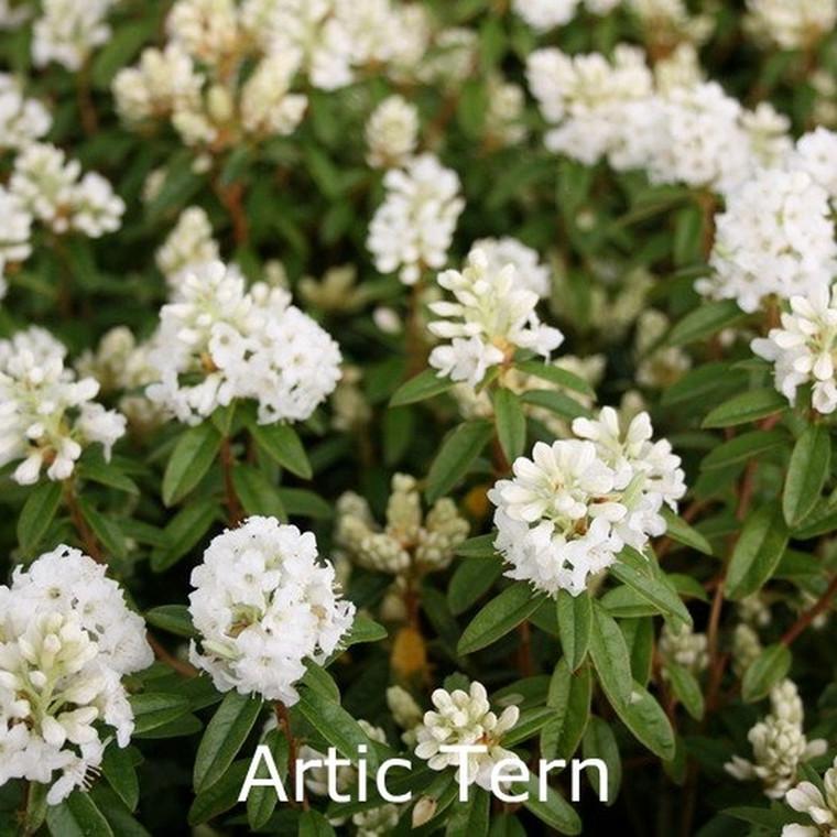 Rhododendron trichostomum 'Artic Tern' (Småblomstrende)  - Salgshøjde: 20-30 cm.