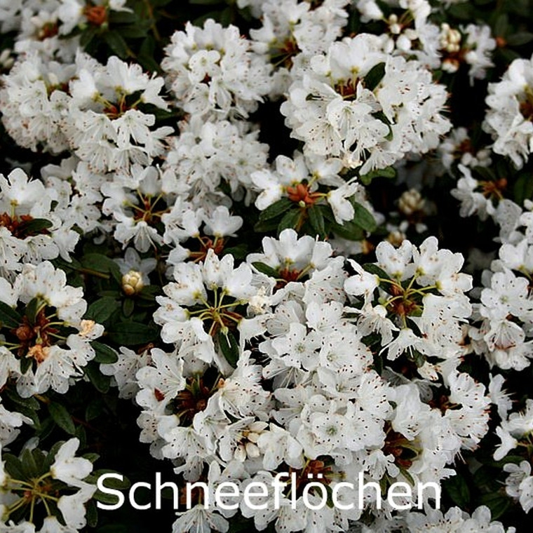 Rhododendron trichostomum 'Schneeflöchen' (Småblomstrende) - Salgshøjde: 20-30 cm.