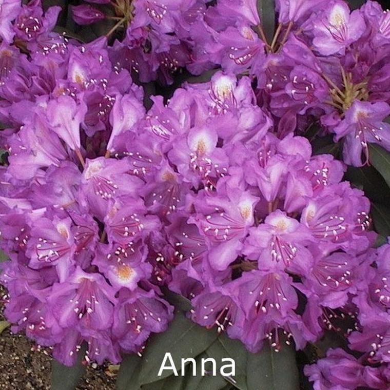 Rhododendron 'Catawbiense Anna' (Storblomstrende) - Salgshøjde: 30-40 cm.