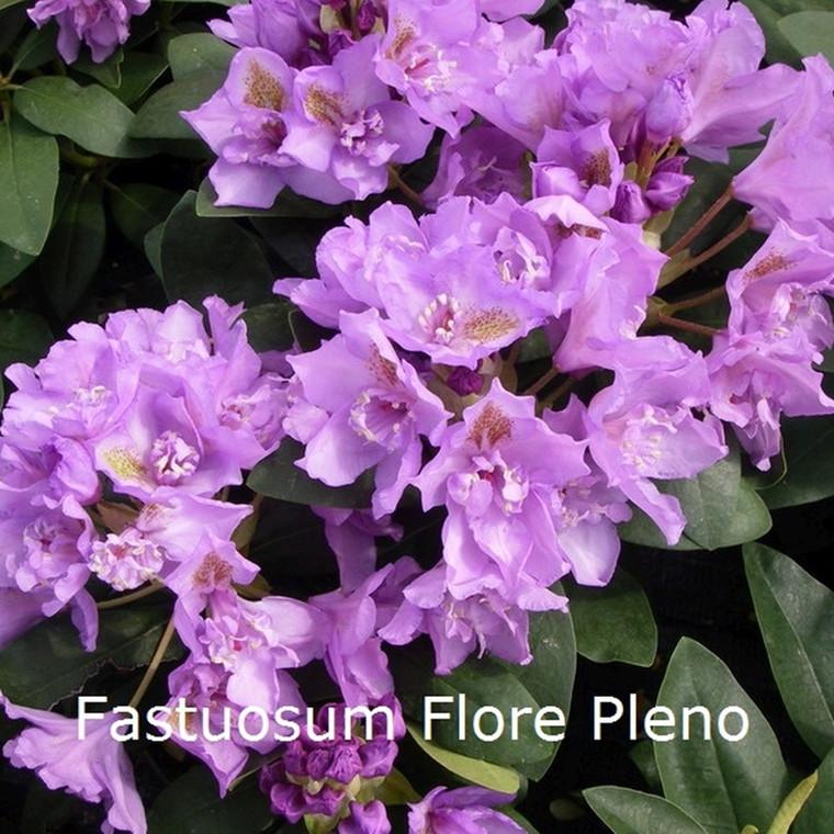 Rhododendron 'Fastuosum Flore Pleno' (Storblomstrende) - Salgshøjde: 30-40 cm.
