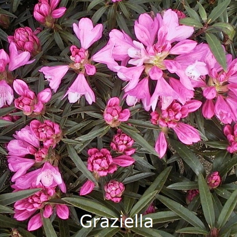 Rhododendron ponticum 'Graziella' (Storblomstrende) - Salgshøjde: 30-40 cm.