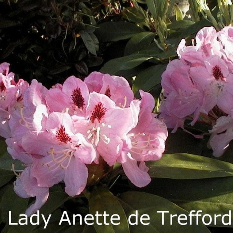 Rhododendron 'Lady Anette de Trefford' (Storblomstrende)  - Salgshøjde: 40-50 cm.