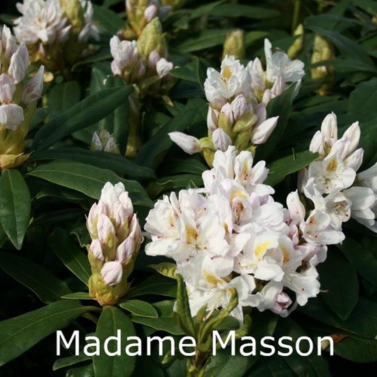 Rhododendron Storbl. 'Madame Masson'   - Salgshøjde: 30-50 cm.