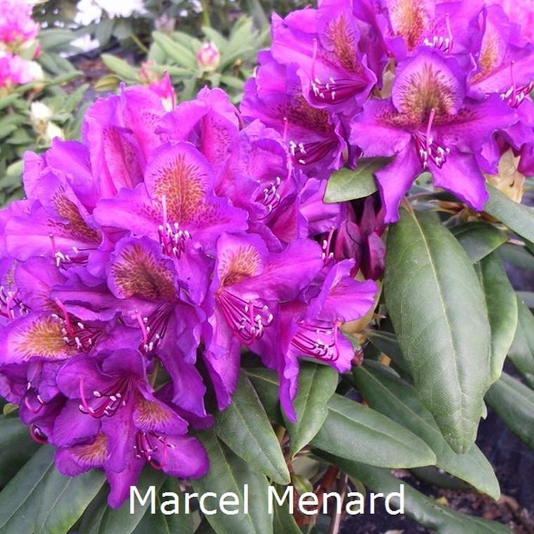Rhododendron Storbl. 'Marcel Menard'   - Salgshøjde: 30-50 cm.