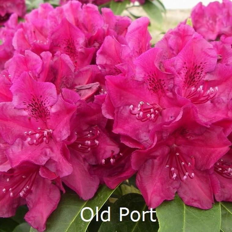 Rhododendron Storbl. 'Old Port'   - Salgshøjde: 30-40 cm.