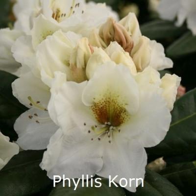 Rhododendron Storbl. 'Phyllis Korn'   - Salgshøjde: 30-40 cm.