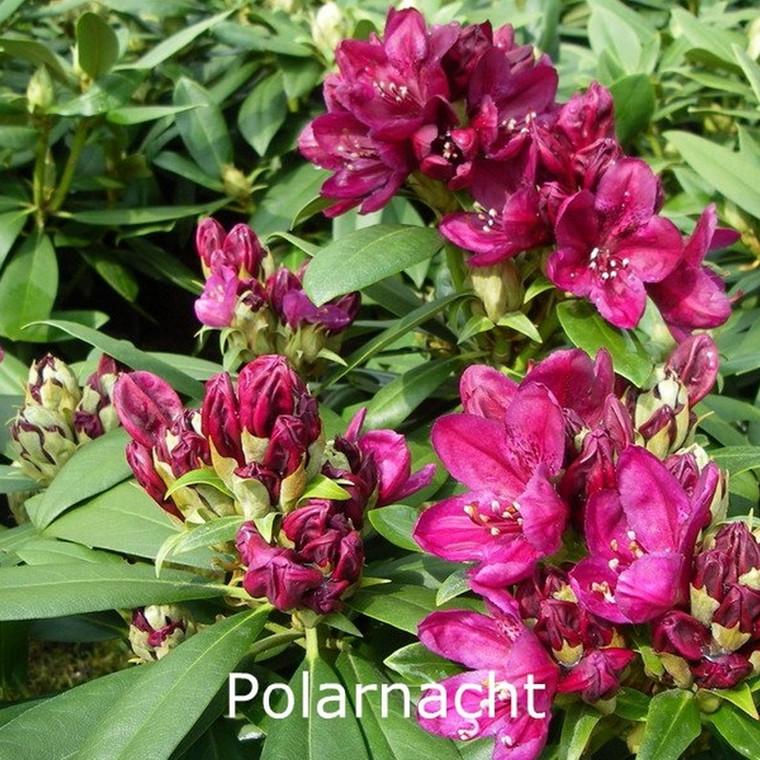 Rhododendron Storbl. 'Polarnacht'   - Salgshøjde: 30-40 cm.