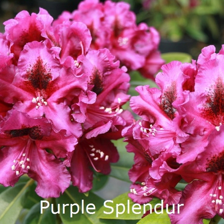 Rhododendron Storbl. 'Purple Splendour'   - Salgshøjde: 30-40 cm.