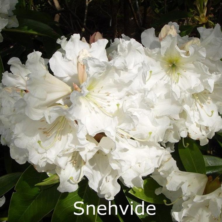 Rhododendron Storbl. 'Snehvide'   - Salgshøjde: 30-40 cm.
