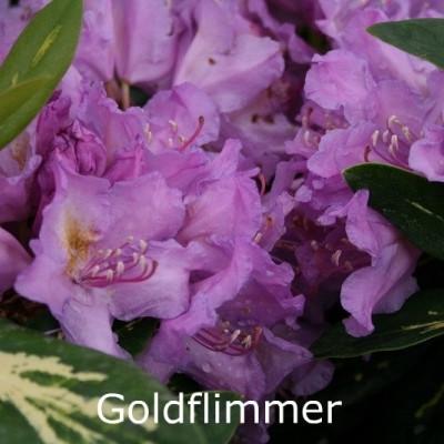 Rhododendron 'Goldflimmer' (Storblomstrende) - Salgshøjde: 30-40 cm.