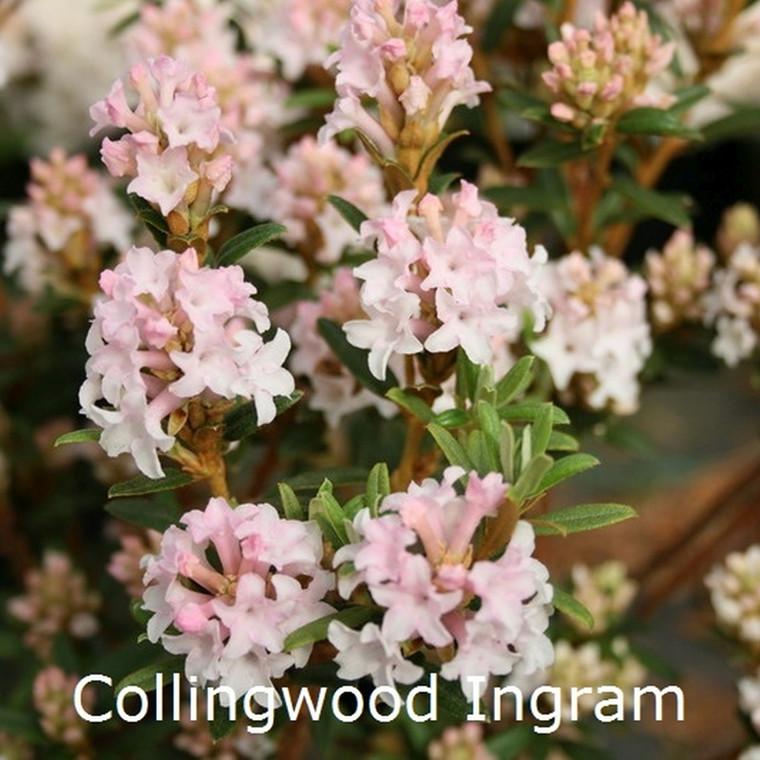 Rhododendron trichostomum 'Collingwood Ingram' (Vildart) - Salgshøjde: 25-30 cm.