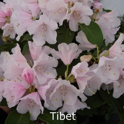 Rhododendron williamsianum 'Tibet' - Salgshøjde: 25-30 cm.