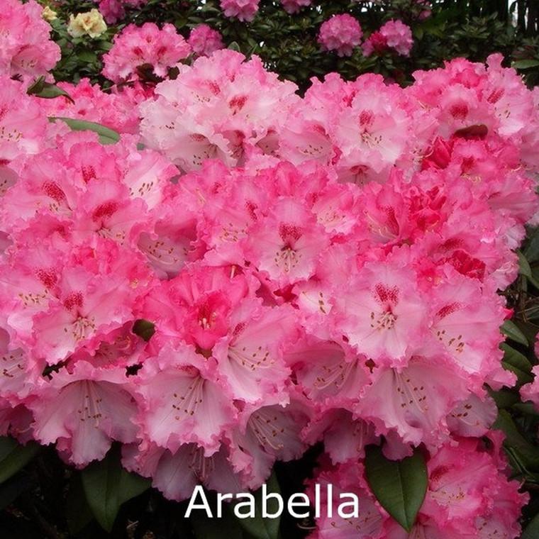 Rhododendron yakusimanum 'Arabella' - Salgshøjde: 25-40 cm.