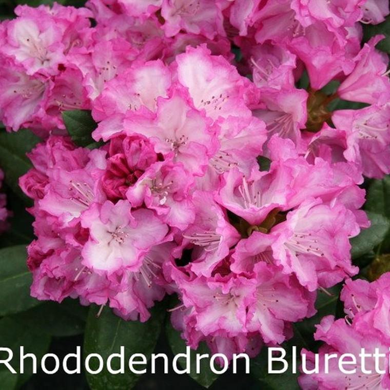 Rhododendron yakusimanum 'Blurettia' - Salgshøjde: 25-40 cm.