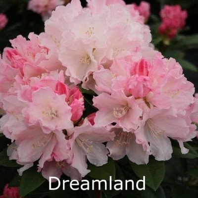 Rhododendron yakusimanum 'Dreamland' - Salgshøjde: 25-40 cm.