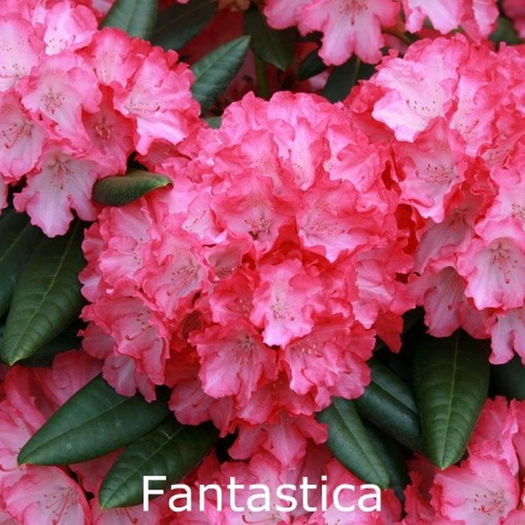 Rhododendron yakusimanum 'Fantastica' - Salgshøjde: 25-40 cm.