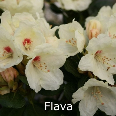 Rhododendron yakusimanum 'Flava' - Salgshøjde: 25-40 cm.