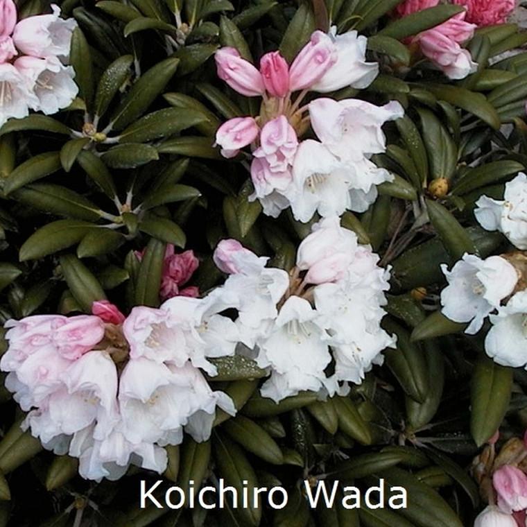 Rhododendron yakusimanum 'Koichiro Wada' - Salgshøjde: 25-40 cm.