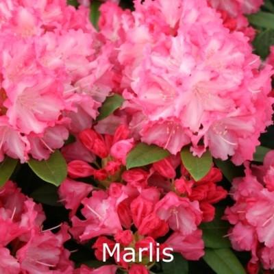 Rhododendron yakusimanum 'Marlis' - Salgshøjde: 25-40 cm.