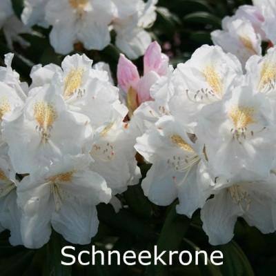 Rhododendron yakusimanum 'Schneekrone' - Salgshøjde: 25-40 cm.