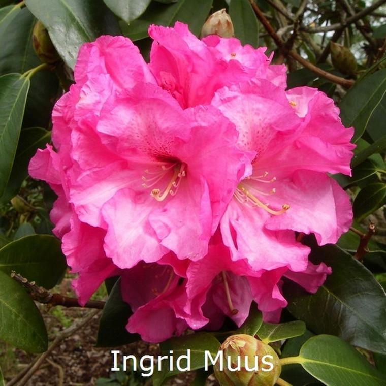 Rhododendron 'Ingrid Muus' (Ingrid) (Storblomstrende) - Salgshøjde: 30-40 cm.