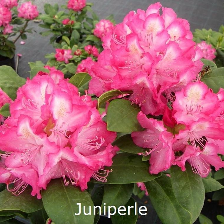 Rhododendron 'Juniperle' (Storblomstrende) - Salgshøjde: 30-40 cm.