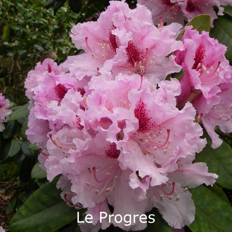 Rhododendron 'Progres' ('Le Progres') (Storblomstrende) - Salgshøjde: 30-40 cm.
