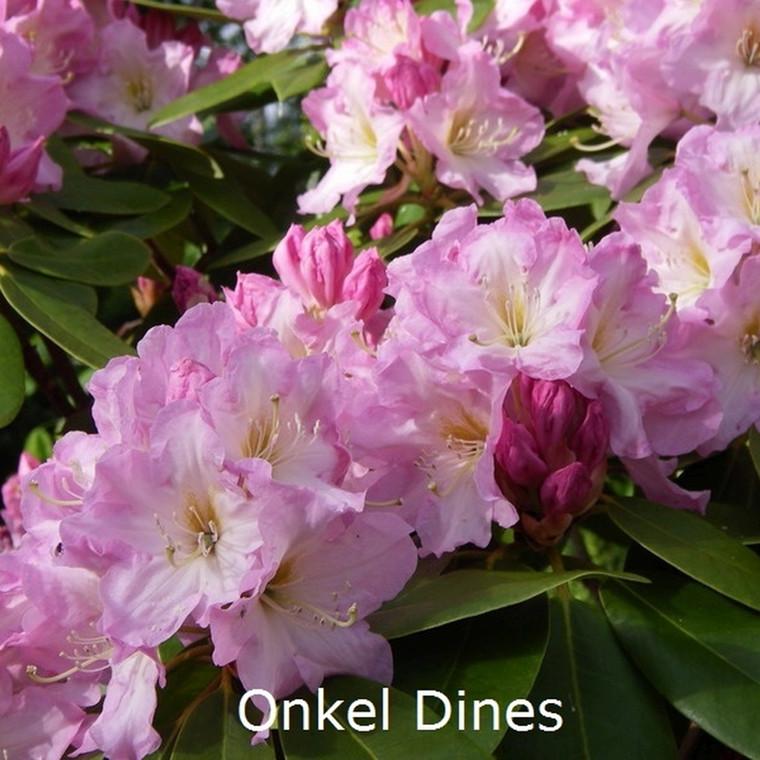 Rhododendron Storbl. 'Onkel Dines'   - Salgshøjde: 30-40 cm.