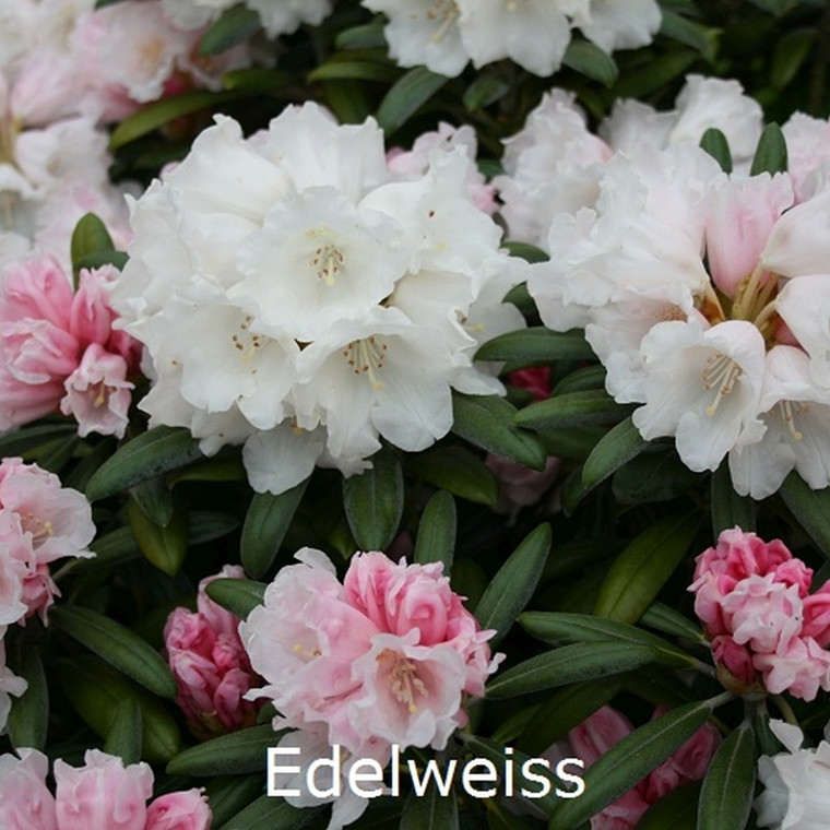 Rhododendron yakusimanum 'Edelweis' - Salgshøjde: 25-40 cm.