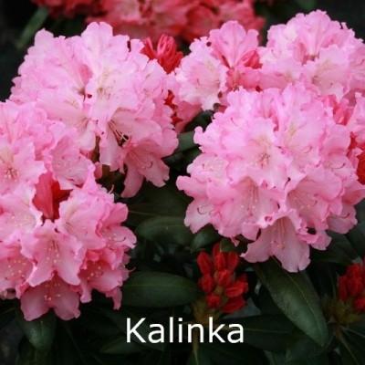 Rhododendron yakusimanum 'Kalinka' - Salgshøjde: 25-40 cm.