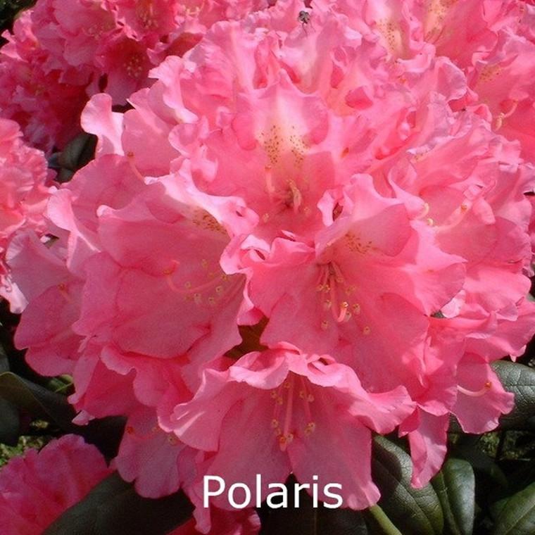 Rhododendron yakusimanum 'Polaris' - Salgshøjde: 25-40 cm.