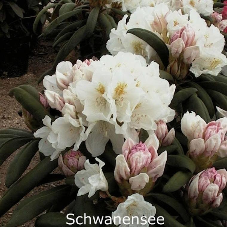 Rhododendron yakusimanum 'Schwanensee' - Salgshøjde: 25-40 cm.