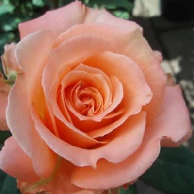 Rose 'Flora Danica' (storblomstrende) barrodet