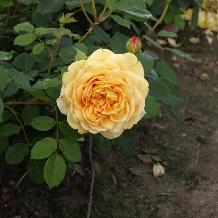 Rose Golden Celebration (engelsk rose (kan anvendes som slyngrose) , barrotad