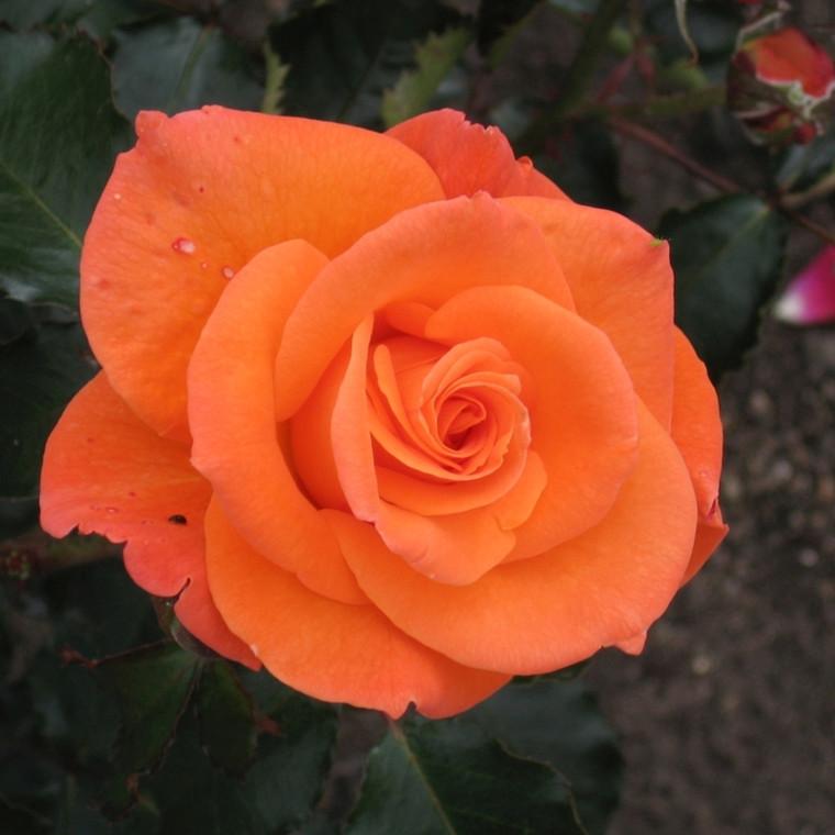Rose 'Gavnø' (storblomstrende) barrodet